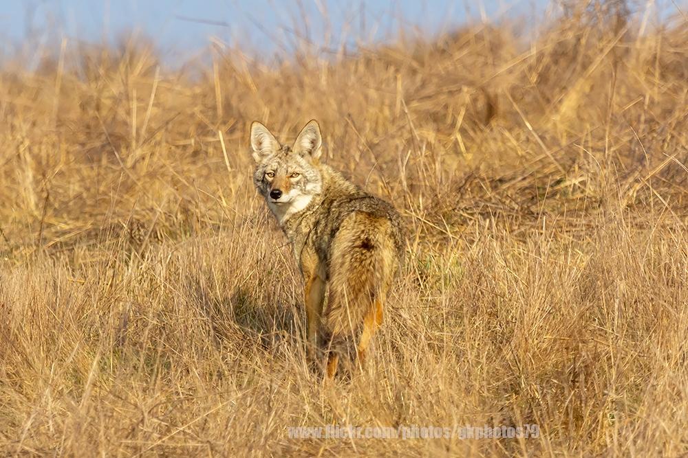 GKNP-Coyote-IMG_9434