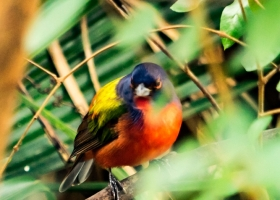 2016-0204-Birds-Painted-Bunting-00002