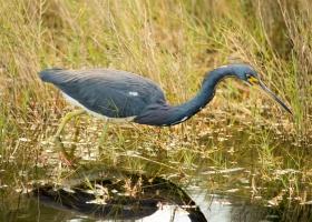 2016-0212-Birds-GBH-00127